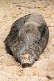 Sleepy wild boar Stock Photography