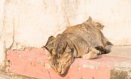 The sleepy wild cat Stock Photos