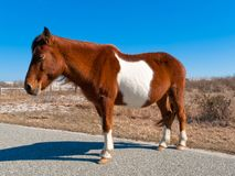 Sleepy wild horse Stock Image