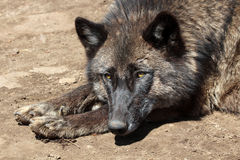 Sleepy Wolf Stock Images