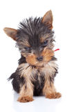 Sleepy yorkie toy Royalty Free Stock Image