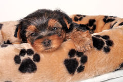 Sleepy Yorkshire Terrier Royalty Free Stock Photography