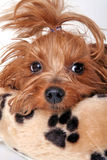 Sleepy Yorkshire Terrier Stock Photo