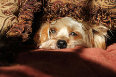Sleepy Yorkshire Terrier dog Stock Images