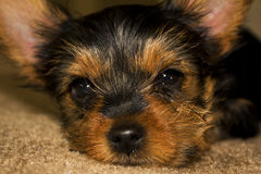 Sleepy Yorkshire Terrier portrait Royalty Free Stock Images