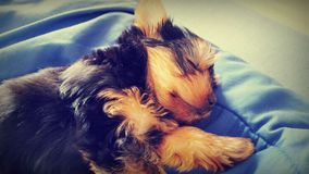Sleepy Yorkshire Terrier Stock Photo