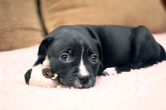 Sleepy young puppy dog lying on pink blanket with his toy and go Stock Images