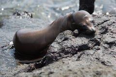 Sleepy young Sea Lion Stock Images