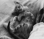 SleepyCat royalty-vrije stock foto