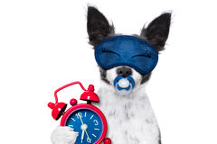 Sleepyhead  baby dog. Chihuahua dog  resting ,sleeping or having a siesta  with   alarm clock and eye mask, and pacifier, isolated on white background Stock Images