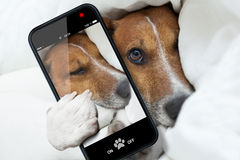 Sleepyhead selfie dog Royalty Free Stock Image