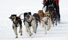 Sleigh. Dogs running on snow in the pyrenees in spain Stock Photos