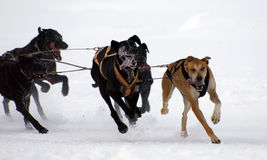 Sleigh. Dogs running on snow in the pyrenees Stock Image