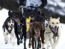 Sleigh. Dogs running in a race in the Pyrenees Stock Image
