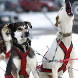 Sleigh. Dogs are ready for a race in the Pyrenees Royalty Free Stock Photos