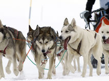 Sleigh. Dogs running in a race with their musher driving the sleigh Royalty Free Stock Photos