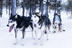 Sleigh at sled dog Stock Photo