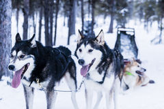 Sleigh at sled dog Stock Images