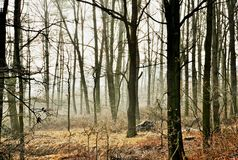 Slender bare trunks of deciduous trees in fog in autumn colored golden forest Royalty Free Stock Photography