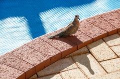 Slender-billed Cuckoo Dove: Western Australia Stock Photos