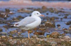 Slender-billed gull Stock Photography