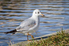 Slender-billed gull - Chroicocephalus genei. The slender-billed gull Larus genei is a mid-sized gull stock images