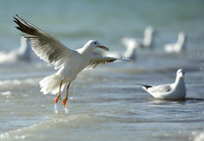 Slender-billed Gull with food Royalty Free Stock Images