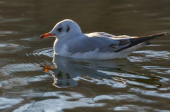 Slender-billed gull on the lake - Chroicocephalus genei. The slender-billed gull Larus genei is a mid-sized gull Royalty Free Stock Images