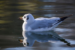 Slender-billed gull on the lake - Chroicocephalus genei. The slender-billed gull Larus genei is a mid-sized gull stock images