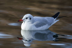 Slender-billed gull on the lake - Chroicocephalus genei. The slender-billed gull Larus genei is a mid-sized gull Royalty Free Stock Photography