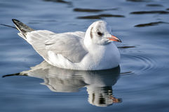 Slender-billed gull on the lake - Chroicocephalus genei. The slender-billed gull Larus genei is a mid-sized gull stock photos