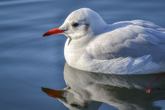 Slender-billed gull on the lake. The slender-billed gull Larus genei is a mid-sized gull Stock Images