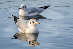 Slender-billed gull on the lake. The slender-billed gull Larus genei is a mid-sized gull stock photography