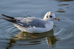 Slender-billed gull on the lake. The slender-billed gull Larus genei is a mid-sized gull Royalty Free Stock Photo