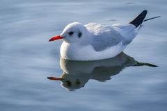The slender-billed gull on the lake. The slender-billed gull Larus genei is a mid-sized gull Stock Photos