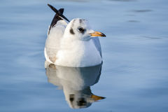 The slender-billed gull on the lake. The slender-billed gull Larus genei is a mid-sized gull stock photo