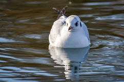 The slender-billed gull on the lake. The slender-billed gull Larus genei is a mid-sized gull Royalty Free Stock Photography