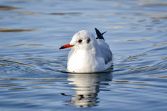 Slender-billed gull on the lake. The slender-billed gull Larus genei is a mid-sized gull Stock Photo