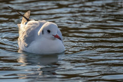 Slender-billed gull on the lake. The slender-billed gull Larus genei is a mid-sized gull Stock Image