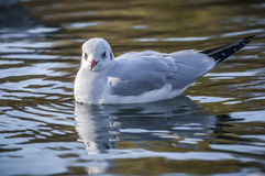 Slender-billed gull on the lake. The slender-billed gull Larus genei is a mid-sized gull Stock Photos
