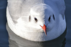 Slender-billed gull on the lake. The slender-billed gull Larus genei is a mid-sized gull royalty free stock photography