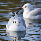 Slender-billed gull on the lake. The slender-billed gull Larus genei is a mid-sized gull Royalty Free Stock Image