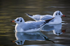 Slender-billed Gull. The slender-billed gull Larus genei is a mid-sized gull Stock Image