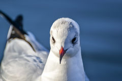 Slender-billed Gull. The slender-billed gull Larus genei is a mid-sized gull Royalty Free Stock Photography