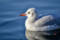 Slender-billed Gull. The slender-billed gull Larus genei is a mid-sized gull stock images