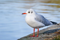 Slender-billed gull. The slender-billed gull Larus genei is a mid-sized gull stock photo