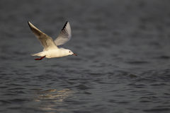 Slender-billed gull, Larus genei Stock Images