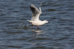 Slender-billed gull, Larus genei. Single bird in flight, Spain, spring Royalty Free Stock Photo