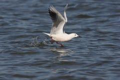 Slender-billed gull, Larus genei Royalty Free Stock Photo