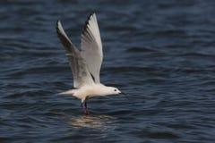 Slender-billed gull, Larus genei Stock Image